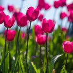 Magenta Tulips - 1