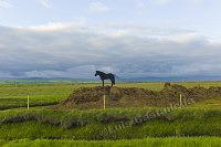D6867 Icelandic Horse. Iceland.