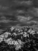BW-954 Flowers in the Storm