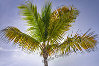 D9932 Palm Tree
