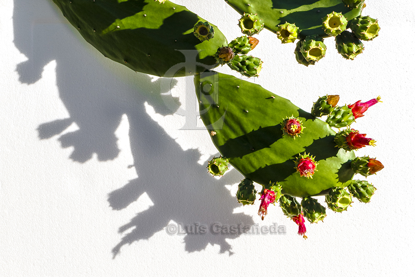 cactus-in-bloom
