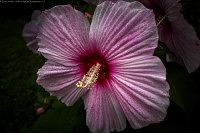 hibiscusIthink_L1000449