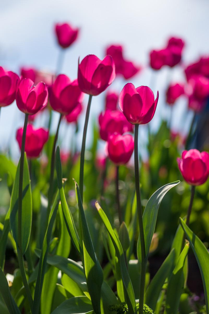 Magenta Tulips - 2