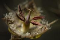 lily-closeup