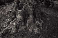 olive-tree-trunk