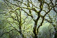 2016-12-25-mossy-buckeye-branches-dmap
