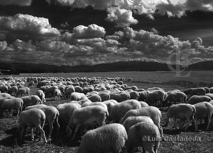 sheep-herd